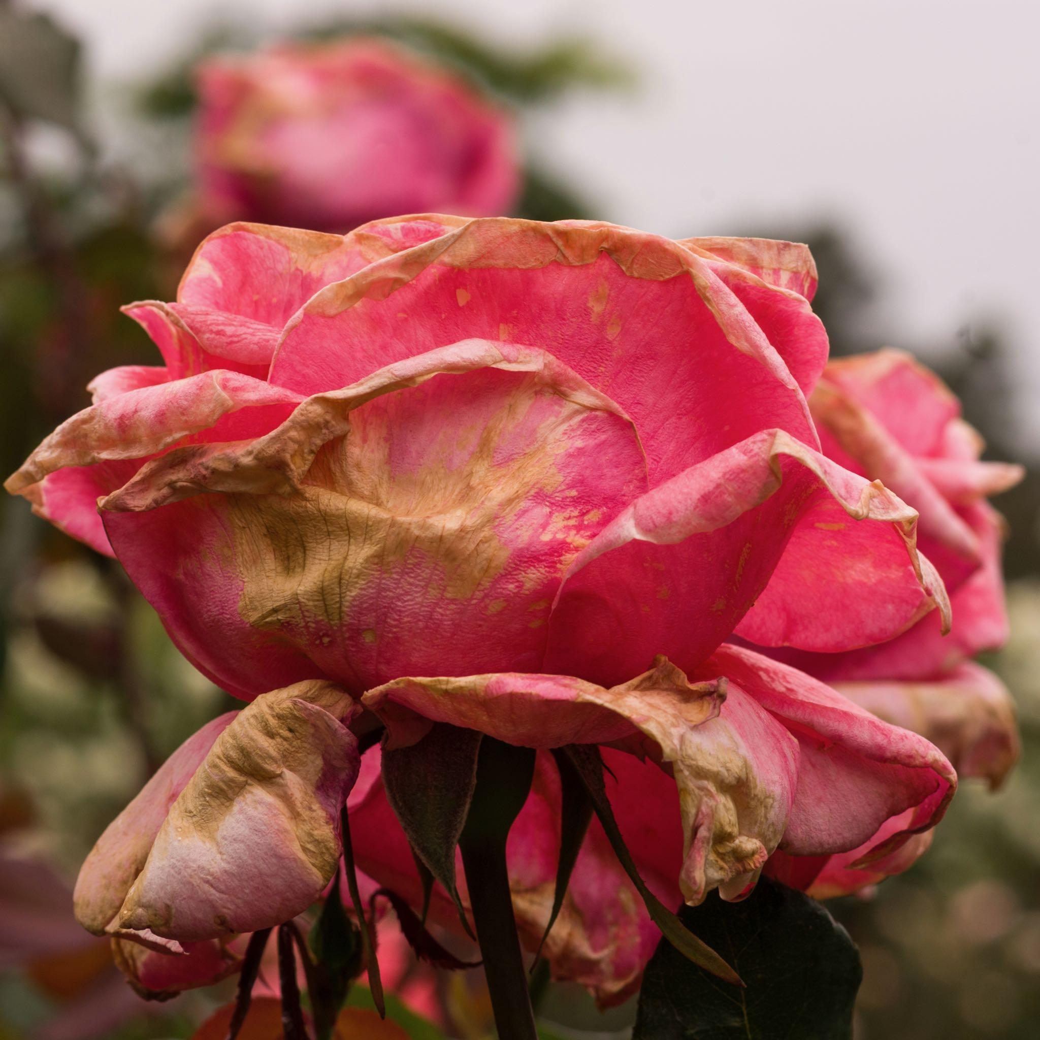 Chatswood Flower Garden