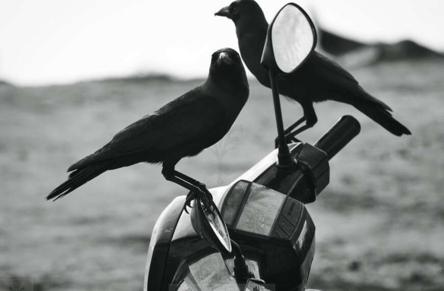 Two Birds on a Motorcycle