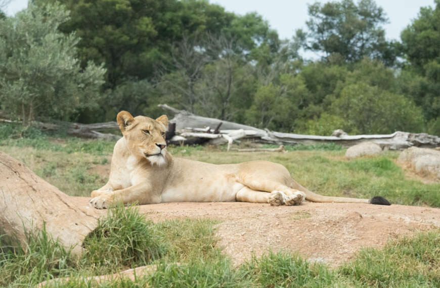 Laid-back Lion Lounging at Leisure