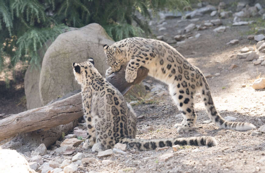 Small Snow-Leopards Sniffing Suspicious Scents