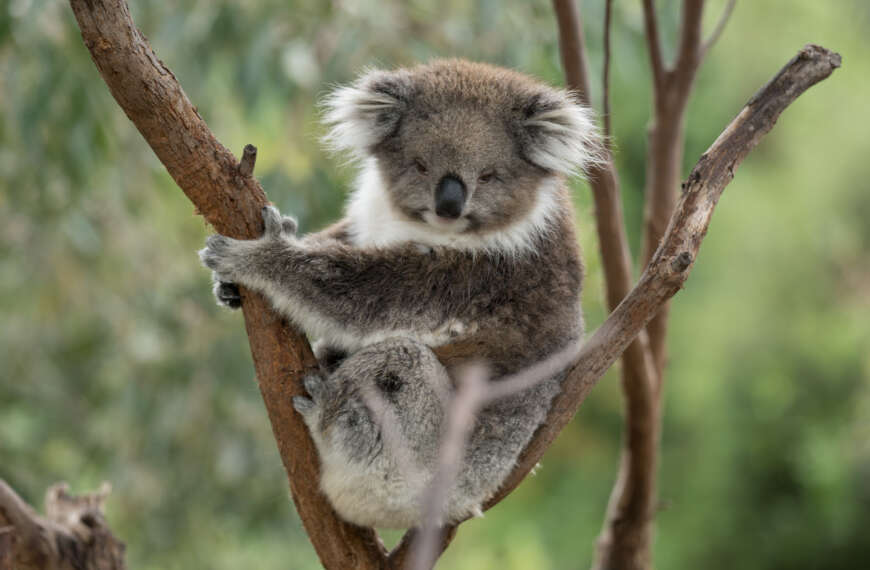 Catching a Contented Koala between Catnaps