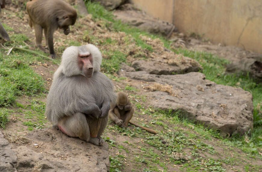 Boss Baboon's Magnificent Mane and Mantle Mean no Mistaking him