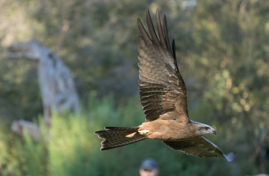 Sony Alpha 1 camera – mid-high ISO impact on images of a black kite