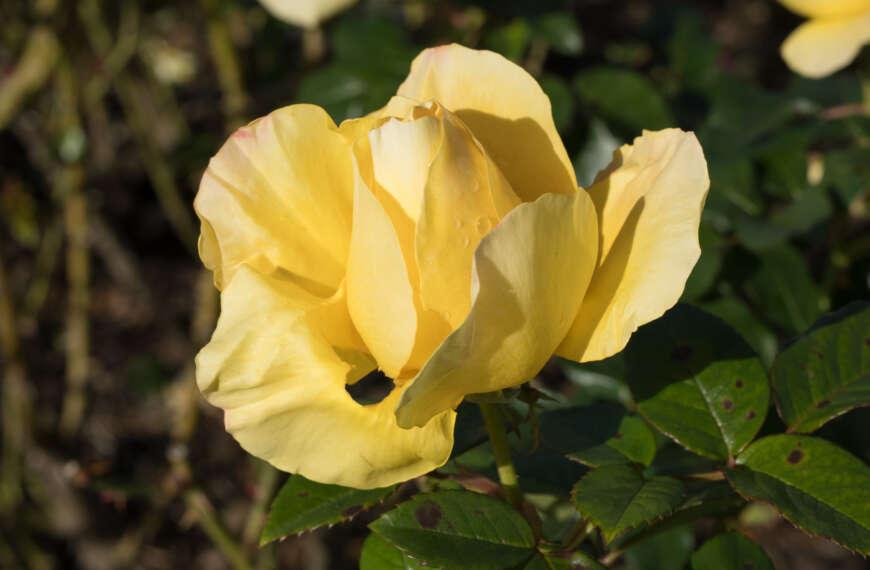 Voigtländer 35mm f/2 APO Lanthar (E mount) – Raindrops on Roses!