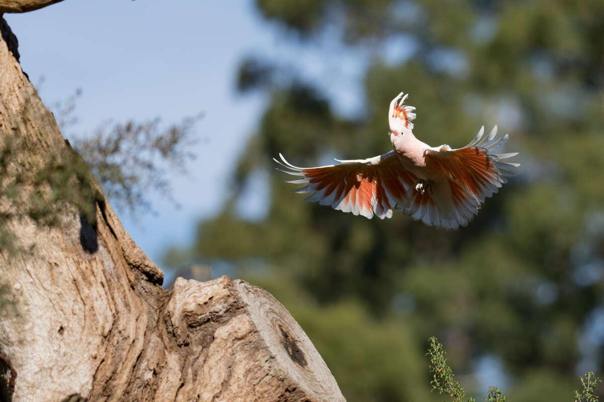 Major Mitchell cockatoo landing